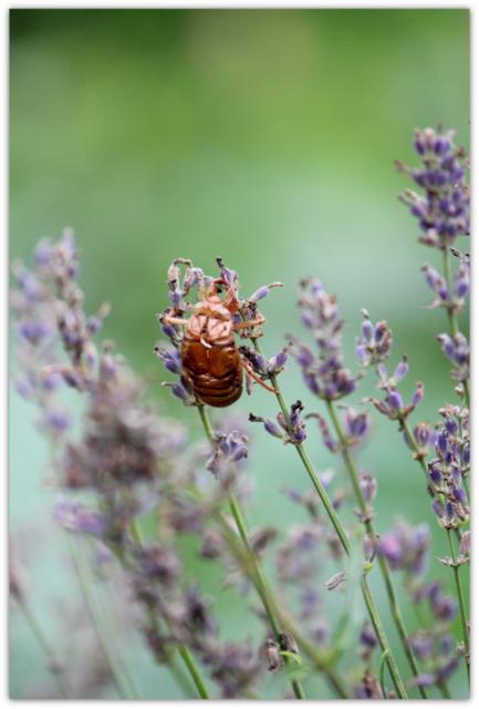 蝉 せみ セミ 昆虫 虫 写真