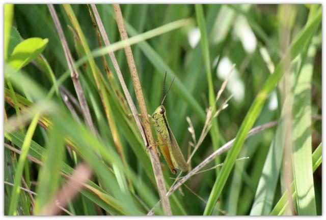 バッタ 昆虫 虫 写真