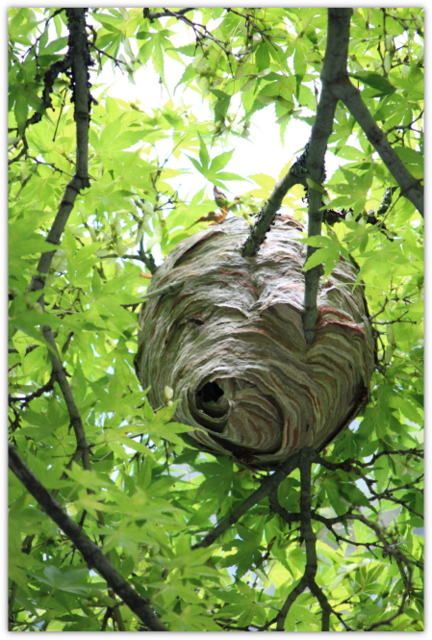 スズメバチ 巣 雀蜂 すずめばち 蜂 写真
