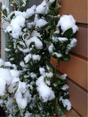 雪をかぶるマサキ