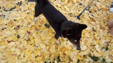 落ち葉の散歩 (1)
