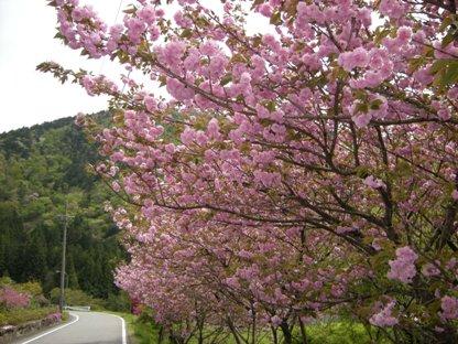 1-4八重桜