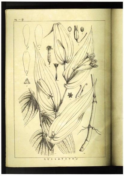 植物志 ホトトギス