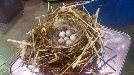 6 鳥の巣 セキレイ?