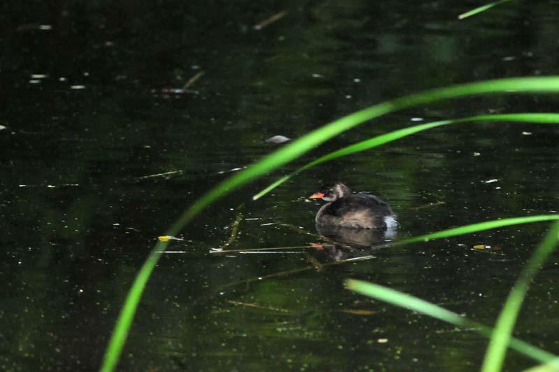 カイツブリ幼鳥1