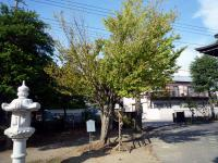 縁結び 桂の木