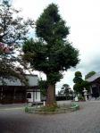 イチョウの大樹