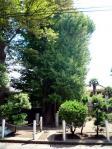 泣き銀杏樹
