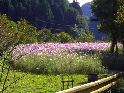 S-kosumosubatake.jpg