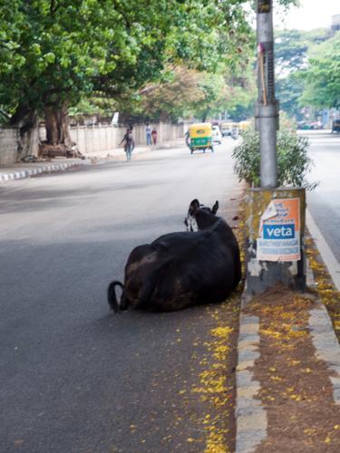 インドの牛2