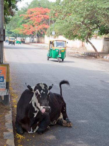 インドの牛3