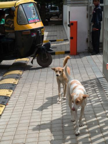 インドの犬1