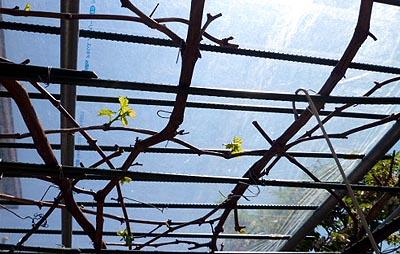 葡萄の芽吹き