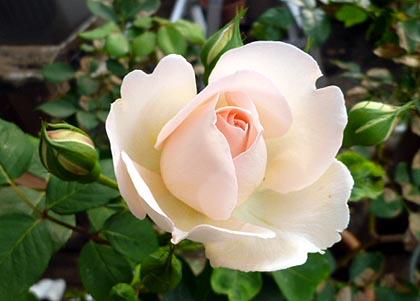 初咲き薔薇