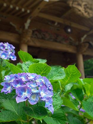 雨・・・紫陽花