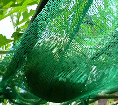 2吊り西瓜