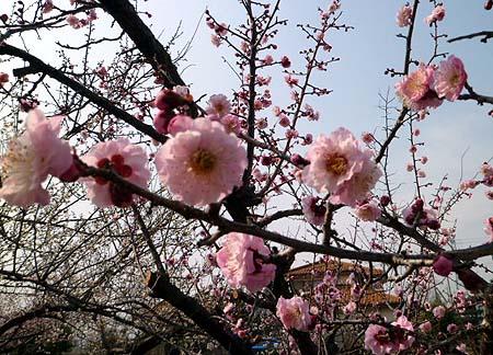 2 梅開花