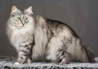 Norwegian_Forest_Cat.jpg
