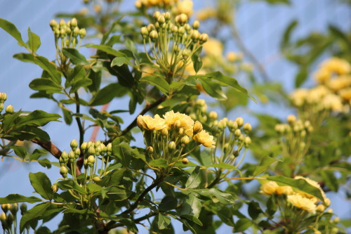 黄モッコウバラ0001