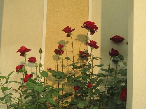 ベルサイユの薔薇0001