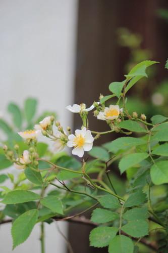 野バラ0001_1