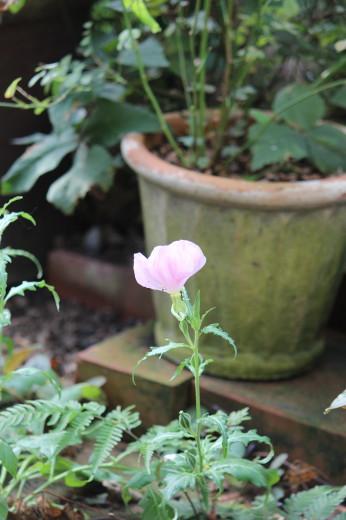 白花ツキミソウ0001