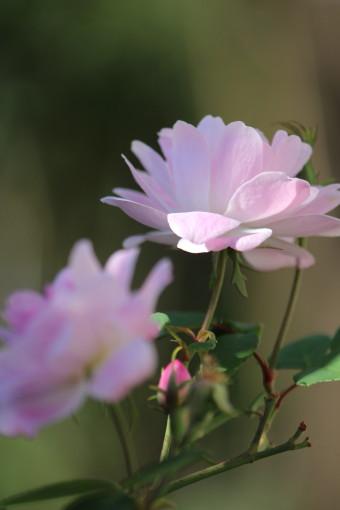 シャンプニー・ピンク・クラスター0001_2