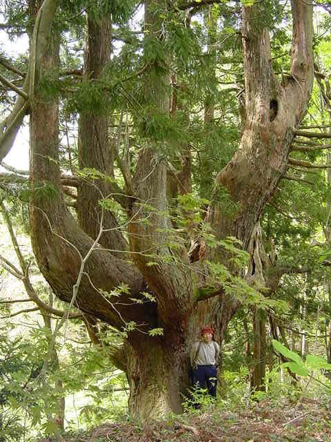 天杉の森(04)・20503
