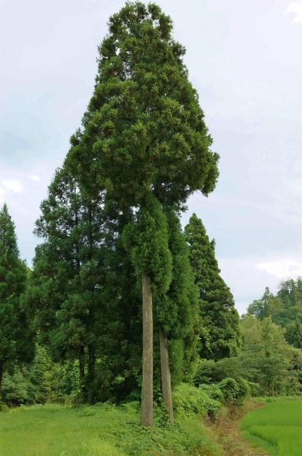 杉胴吹き1-3