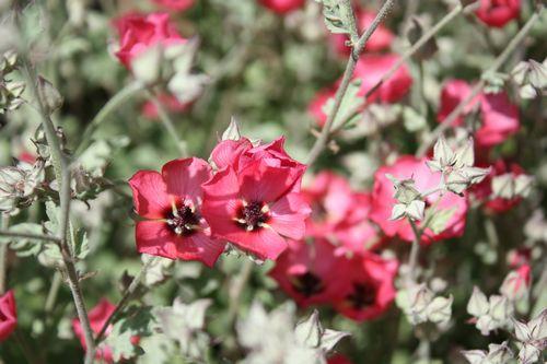 T's Garden Healing Flowers‐アニソドンテア・スプリングピクシー