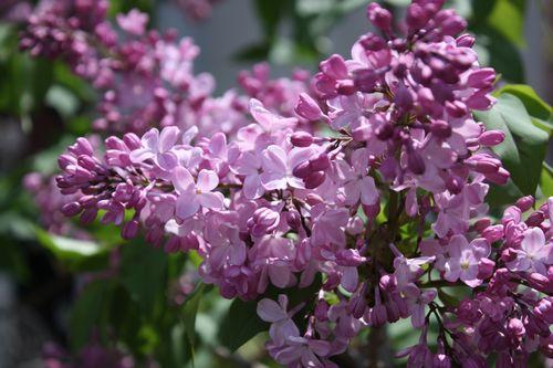 T's Garden Healing Flowers‐リラの花