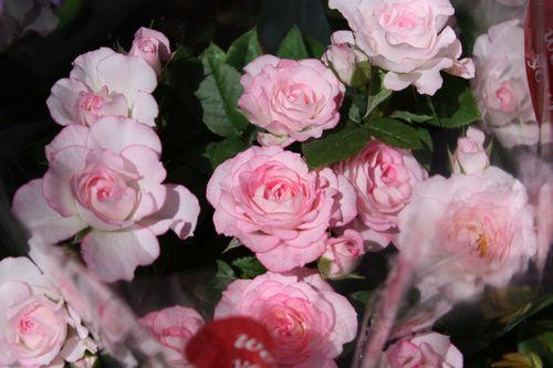 T's Garden Healing Flowers‐ミニバラ・ラブリープリンセス