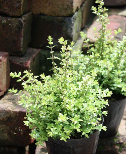 T's Garden Healing Flowers‐ロニセラ・エドニーゴールド