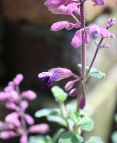 T's Garden Healing Flowers‐サルビア・セミアトラータ