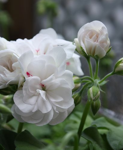 T's Garden Healing Flowers‐アイビーゼラ・ホワイトパール