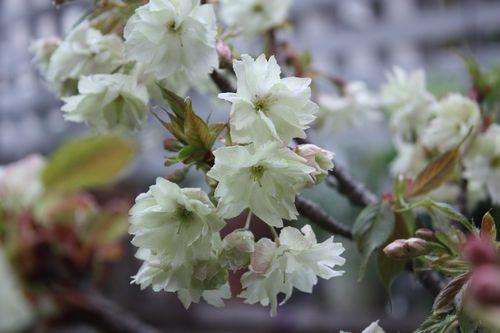 T's Garden Healing Flowers‐鬱金桜