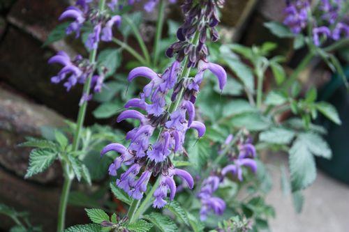 T's Garden Healing Flowers‐サルビア・ミルティオリザ