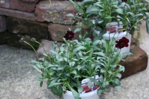 T's Garden Healing Flowers‐チョコレートコスモス