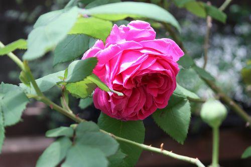 T's Garden Healing Flowers‐R.マダム・イザアック・ペレイル