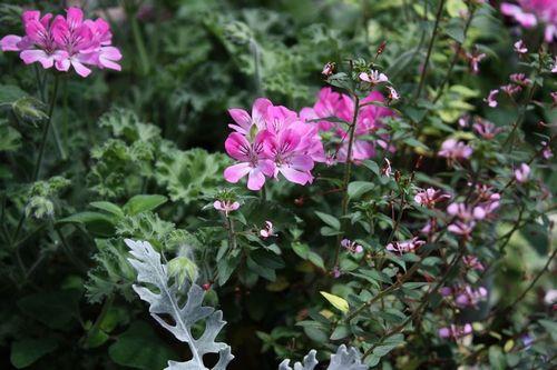 T's Garden Healing Flowers‐ハーブゼラの寄せ植え