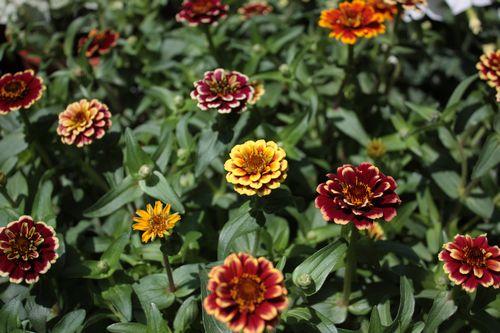 T's Garden Healing Flowers‐ジニア・オールドファッション