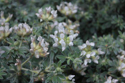T's Garden Healing Flowers‐ドリクニウム・ヒルスツム(銀葉)