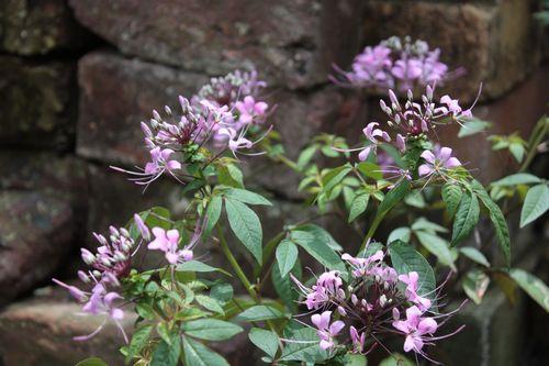 T's Garden Healing Flowers‐クレオメ・ハミングバード