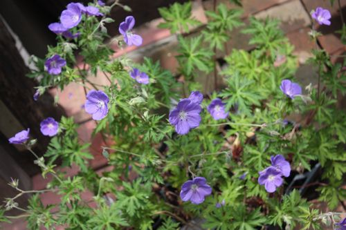 T's Garden Healing Flowers‐ゲラニウム・ジョンソンズブルー