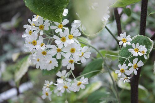 T's Garden Healing Flowers‐シルバーレースの花