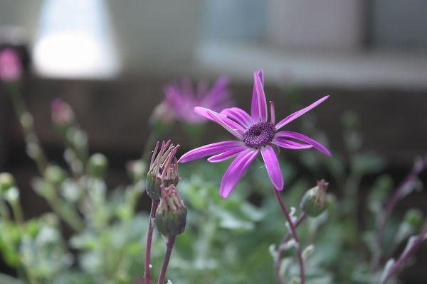 T's Garden Healing Flowers‐ギボウシ・エレガンス
