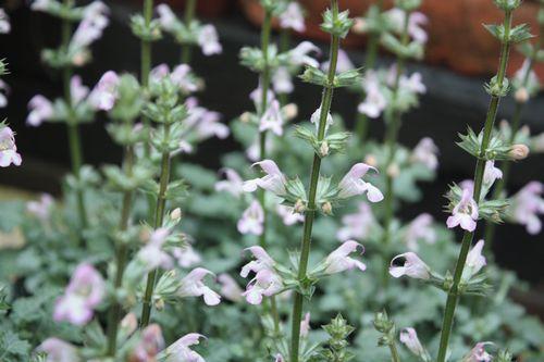 T's Garden Healing Flowers‐サルビア・タラクサシフォリア
