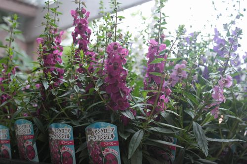 T's Garden Healing Flowers‐アンゲロニア・アークエンジェル