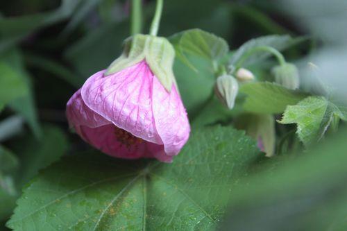 T's Garden Healing Flowers‐アブチロンピンク
