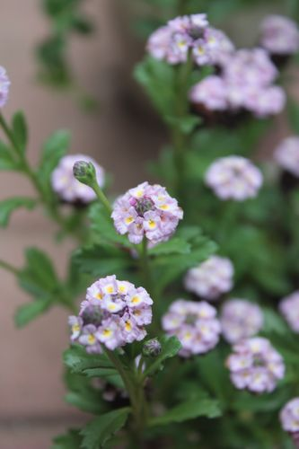 T's Garden Healing Flowers‐リッピアピンク